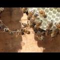 Bienen Naturwabe
